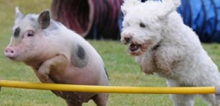 Pig is part of the pack: running with agility dogs