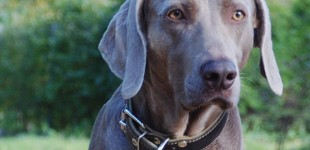 Treat your dog's auto-immune disease naturally
